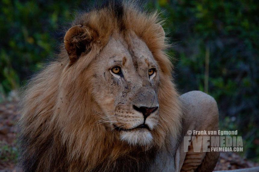 Male Lion (Panthera Leo)..Portrait..Winter, May 2009..Hluhluwe-Imfolozi Game Reserve, Kwazulu Natal, South Africa.
