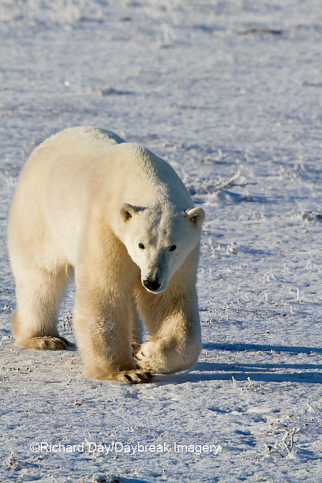 01874-12420 Polar bear (Ursus maritimus) walking in winter, Churchill Wildlife Management Area, Churchill, MB Canada