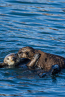 Sea Otter (Enhydra lutris) mom carrying pup on her tummy/chest. California coast.