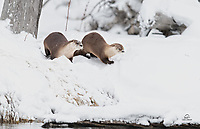Our first encounter with the North American River Otter (Lontra canadensis). As frenetic as they are cute, they rarely stopped moving. We were fortunate to catch these two on the shore of Biscuit Basin in West Yellowstone.