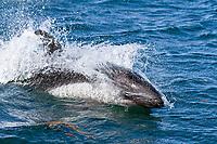 Peale's dolphin, Lagenorhynchus australis, Carcass Island, Falkland Islands, South Atlantic Ocean