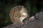Red Squirrel feeding (Tamiasciurus hudsonicus), Yellowstone National Park, Wyoming, USA
