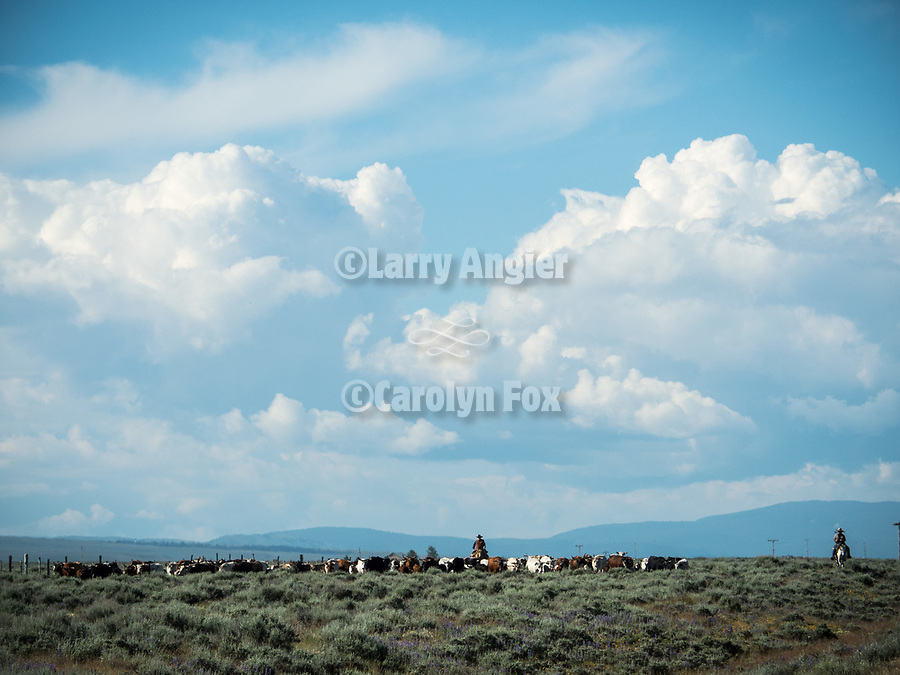 Longhorn drive in the Big Hole Valley, Mt. Andy Baldauf, Dan Coon & Sandee Nelson pushing them north from Wisdom.