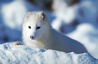 Arctic fox in fresh snow, Photographed in captivity, Native to Arctic Region