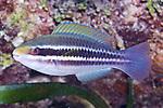 Scarus iseri, Striped parrotfish, Roatan