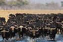 Botswana, Chobe National Park, Savuti, Cape buffalo or African buffalo (Syncerus caffer) herd crossing water in Savuti Marsh