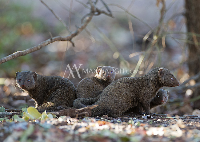 The dwarf mongoose is my favorite mongoose.