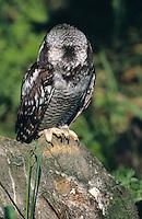 Sperbereule, Gesichtsähnliche Zeichnung des Hinterkopfes, Sperber-Eule, Surnia ulula, hawk owl, hawk-owl