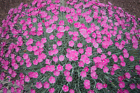 Dianthus in full bloom. Garden in Wilsonville, Oregon