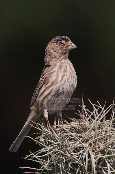 House Finch, Carpodacus mexicanus, female with House Finch Disease, Hill Country, Texas, USA, April 2007