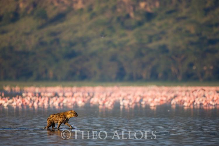 Spotted hyena (Crocuta crocuta) walking into Lake Nakuru to hunt flamingos
