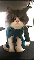 BNPS.co.uk (01202 558833)<br /> Pic: WelLAnimalClinic/BNPS<br /> <br /> ***Please Use Full Byline***<br /> <br /> Matt in his jumper. <br /> <br /> Matt the cat has been given a new lease of life - after vets shaved off two carrier bags worth of fur.<br /> <br /> The mangy moggie was close to death when he was discovered abandoned in a box that had been dumped by the side of the road.<br /> <br /> After years of neglect his thick coat had grown so long it had become matted together and he was so sick he could barely muster the energy to eat.<br /> <br /> Horrified vets rushed the Persian cat onto the operating table where he was sedated - and as soon as he went under they set about removing all of his fur.