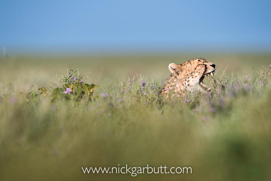 Female Cheetah (Acinonyx jubatus). Short grass plains of the Serengeti / Ngorongoro Conservation Area (NCA) near Ndutu, Tanzania.