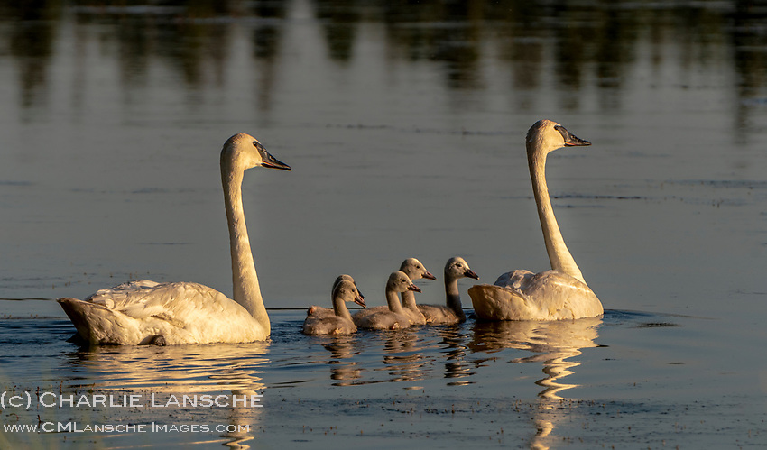 """""""Signets!"""" <br /> <br /> Really sweet to see this successful nesting pair of trumpeter swans with five signets this week on one of our local lakes. Trumpeters are abundant here during the winter months, yet most migrate north to Canada or Alaska during the summer. A much smaller local population nests here, and fewer are productive breeders. Trumpeter swans were once abundant and widespread throughout North America. Yet by the early 1900's the population was nearly extinct with only small flocks remaining in Alaska and remote areas of the Rocky Mountains. Hunting restrictions and conservation efforts by organizations like The Teton Valley Land Trust's Trumpeter Swan Program, The Trumpeter Swan Society, and the Wyoming Wetlands Society have helped to significantly increase population numbers, however, threats remain including the loss of habitat to development, water supply and demand, and climate change."""