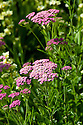Achillea ageratifolia, end June.