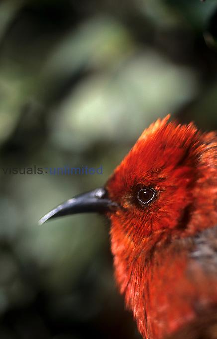 Apa'pane, native bird, Hawaii, USA.