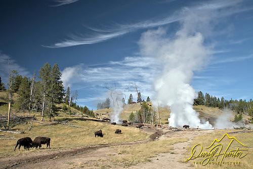 Sparring bison at Mud Volcano