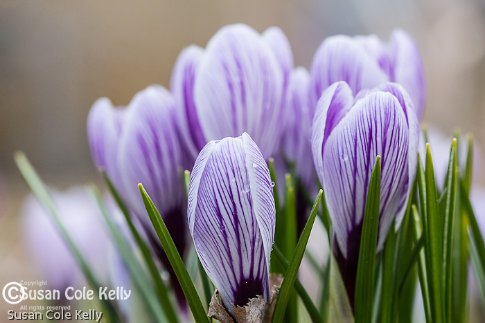 Blooming crocus in North Point Park, Cambridge, MA, USA