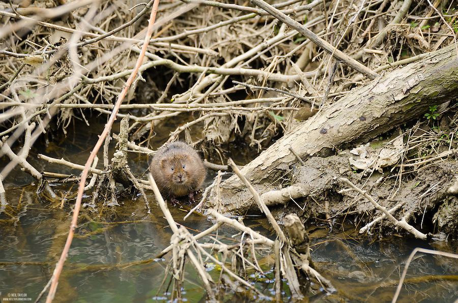 Water Vole {Arvicola amphibius} at Rabbit Ings near Barnsley
