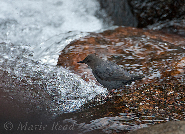 American Dipper (Cinclus mexicanus), Lee Vining Creek, Mono Lake Basin, California, USA