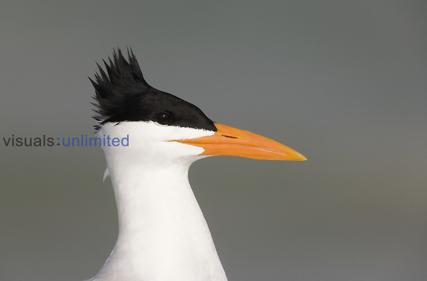 Royal Tern head (Sterna maxima) in breeding plumage with a windblown feather crest, Florida, USA.
