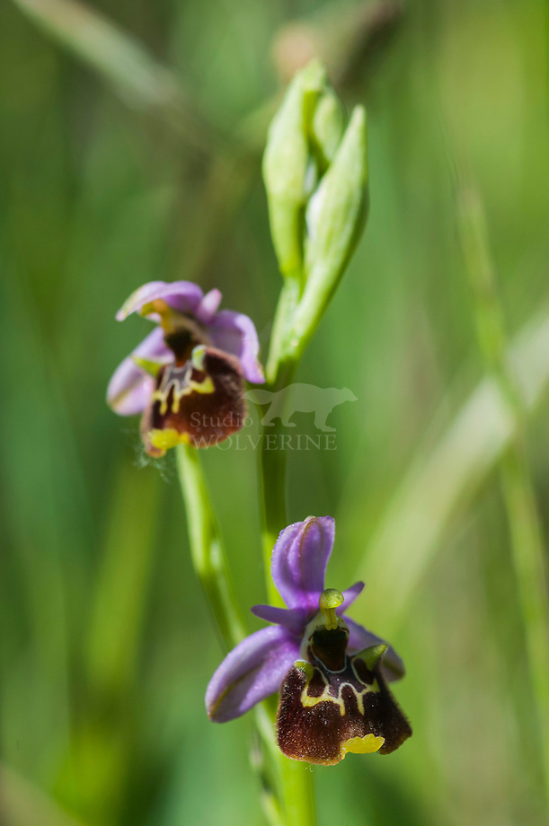 Hommelophrys (Ophrys holosericae)