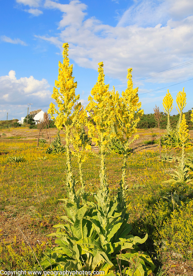 Yellow flowers of great mullein plant, Verbascum thapsus, Shingle Street, Suffolk, England, UK