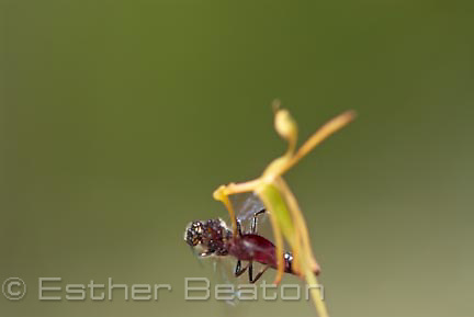 Dwarf Hammer Orchid (Drakaea micrantha) being mated and pollinated by Thynnid wasp which believes it is a female wasp. Western Australia.