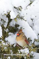 01530-21120 Northern Cardinal (Cardinalis cardinalis) female in Keteleeri Juniper tree (Juniperus chinensis 'Keteleeri') in winter, Marion Co., IL