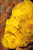 longlure frogfish or anglerfish, Antennarius multiocellatus, camouflaged among sponges, Commonwealth of Dominica (Caribbean Sea) , Atlantic