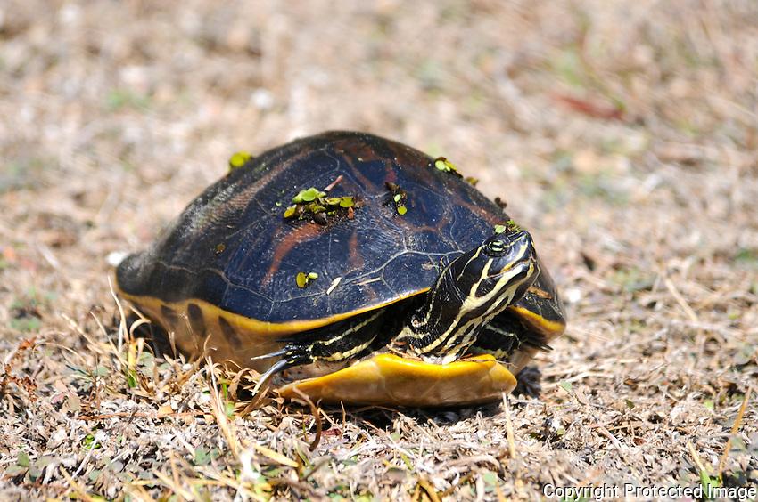 Florida Red-Bellied Turtle. Photographed at Arthur Marshall Loxahatchee Preserve,Boynton Beach Florida.