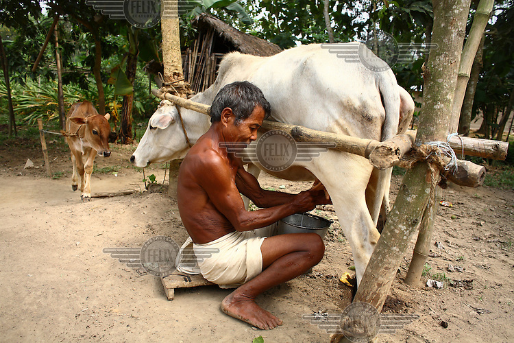 A Garo man milking a cow. The Garo (or Mandi, as they refer to themselves) are an ethnic minority thought to be of Tibeto-Burmese origin. Prior to British rule they were mostly anamists but missionary work led the majority to convert to Christianity. The Garo of the Madhupur forest have long been under the threat of eviction by the government and the forest that they gain much of their livelihood from is being rapidly destroyed by unregulated logging.