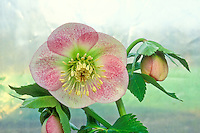 Hellebore x hybridus single white with spots