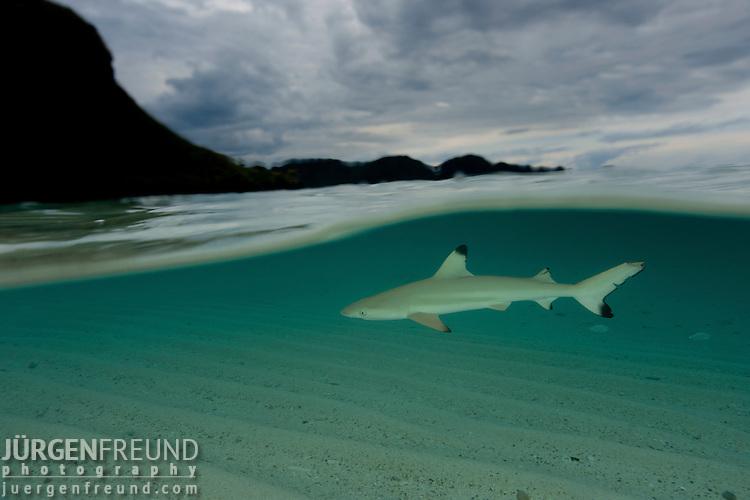 Blacktip reef shark (Carcharhinus melanopterus) patrolling the shallows - split level.