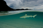 Blacktip reef shark (Carcharhinus melanopterus) patrolling the shallows - split level.