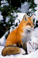 Red fox (Vulpes vulpes) in winter setting.