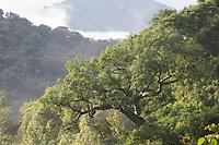 Ceiba tree and moist tropical forest; Ceiba trichistandra; Ecuador, Prov. Loja, Macará, Jorupe Reserve,