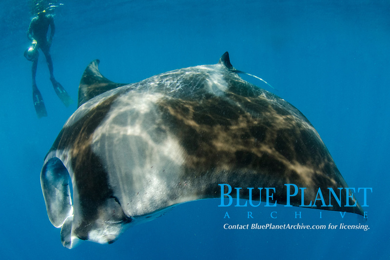 Giant Oceanic Manta Ray, Mobula birostris, formerly Manta birostris, feeding at surface, Caribbean Sea, Atlantic Ocean