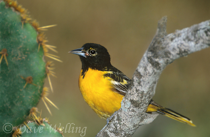 561920057 a wild juvenile male baltimore oriole icterus galbula perches on a tree branch next to an opuntia plant in the rio grande valley of south texas