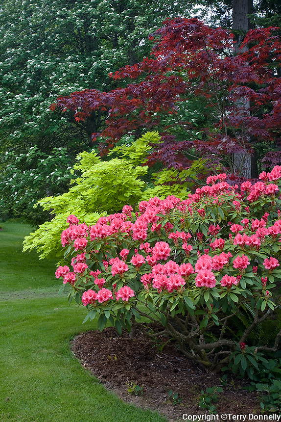 Vashon Island, WA<br /> Pacific northwest garden at forest edge with pink rhododendron (R. 'Cary Ann') and colorful maples (A. palmatum 'Bloodgood', A. sh. 'Aurem' Golden Full Moon)