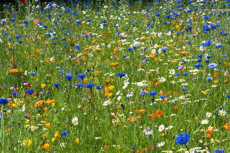 Annual flower meadow, Oxford Botanic Garden, mid July. 'Golden Girl' mix from  Pictorial Meadows includes species: Californian poppy (Eschscholzia californica), African daisy (Dimorphotheca sinuata), Ox-eye daisy (Leucanthemum vulgare), Corn marigold (Chrysanthemum segetum), and Blue cornflower (Centaurea cyanus).