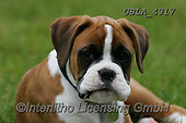 Bob, ANIMALS, REALISTISCHE TIERE, ANIMALES REALISTICOS, dogs, photos+++++,GBLA4317,#a#, EVERYDAY