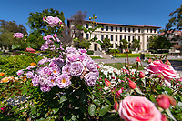 Roses outside the JSC, looking toward Johnson Hall on May 3, 2019.<br />