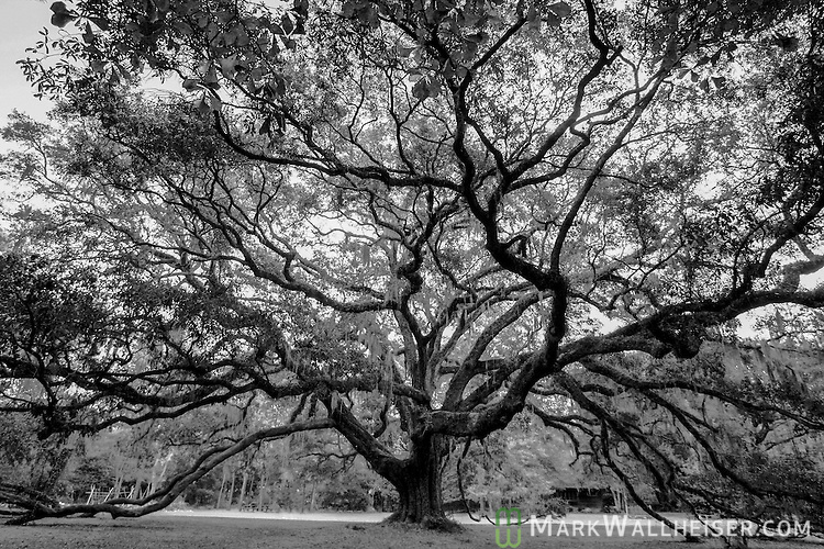The Lichgate Oak at 1401 High Rd in Tallahassee, Florida.