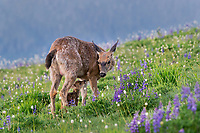 Columbian black-tailed deer (Odocoileus hemionus columbianus) doe and fawn in subalpine meadow.  Pacific Northwest.  Summer.