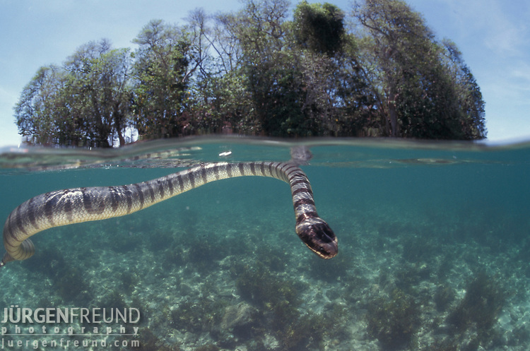 Yellow lip sea krait, split level.Laticauda colubrina