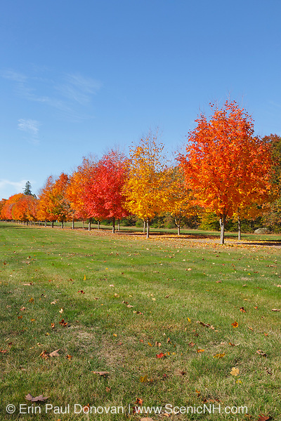 Row of maple trees during the autumn months in New Hampshire USA.