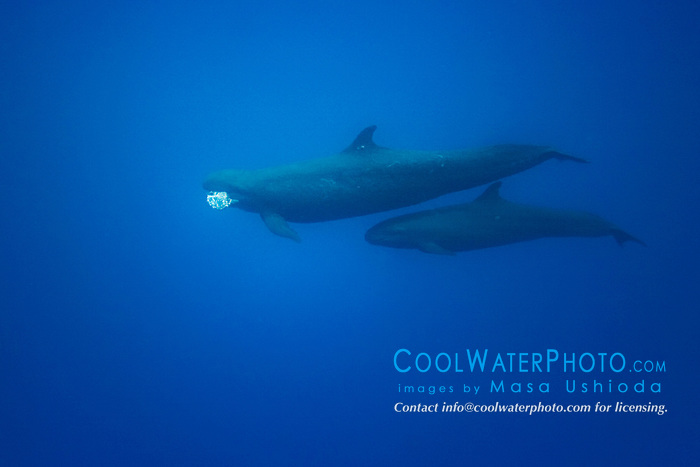 false killer whales, Pseudorca cassidens, mother with fish (a jack) in her mouth and calf underneath, Kona Coast, Big Island, Hawaii, Pacific Ocean