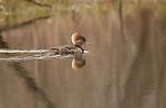 Hooded merganser female