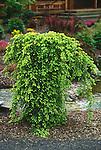 7652-CD Sargent's Weeping Hemlock, Tsuga canadensis `Pendula', growth habit in landscape, at Dayton, Oregon